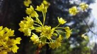 Eko zāļu tēja Kļavu ziedi